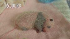 yeni doğan panda minnacık yawru annesiyle birlikte ilk 30 gün yaşam serüweni ne güzel