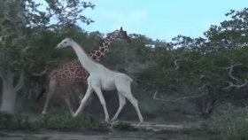 Beyaz Zürafanın Görüntülenmesi
