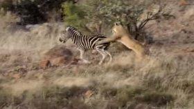 Aslanın Zebrayı Avlaması