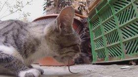 Fareyi Yemeden Önce Piç Eden Kaygısız Kedi