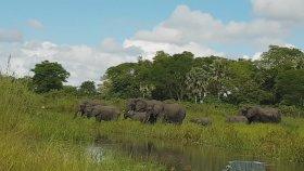 Timsahın Fillere Saldırması