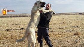 Kangal Köpekleri Hakkında İlginç Bilgiler
