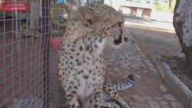 Mirketler Tarafından Hoş Karşılanmayan Çita