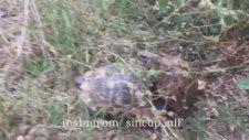 Kaplumbağaları Çiftleşirken Basan Adam