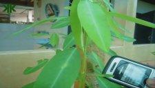 Sesle Hareket Eden Bitki - Telgraf Bitkisi