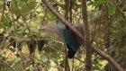 Muhteşem Cennet Kuşları ve Dansları
