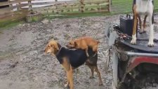 Küçük Köpeğin Boyundan Büyük İşlere Yeltenmesi