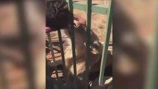 Aslanı Sevmek İsterken Elini Kaptıran Rugby Oyuncusu