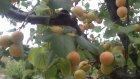 ollgunlaşmış sararmiş meyveler meyve bahçeleri kayısı bahcesi videosu goruntuleri