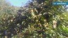 Cennet elması trabzon hurması cennet hurması meyvesinin faydaları yararları nelerdir