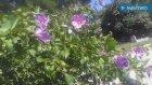 Hibuskus bitkisinin çiçekleri çayının faydaları yararları nelerdir