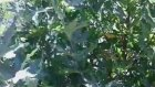 Cinar yapraginin romatizma kireclenmelerde faydalari
