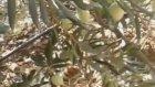 Zeytin zeytin yaginin ozon yaginin faydalari omega deposu zeytinin yaginin faydalari