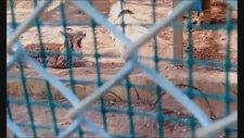 Esnerken İlginç  Ses Çıkaran Vahşi Kedi 2017 Antalya Hayvanat Bahçesi