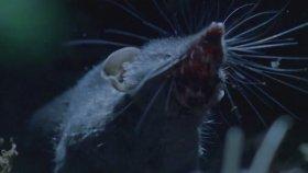 Dişiyi Elde Etmek İsteyen Kır Farelerinin Mücadelesi