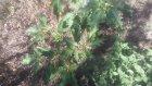 Datura  tatula boru çiçeği bitkisinin yaprakları tohumları kahvesi faydaları yararları nelerdir