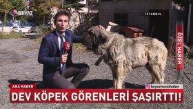 Türkiye'nin En Büyük Köpeği Dağlı