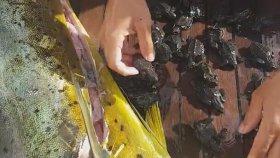 Balığın Karnından Çıkan Yavru Deniz Kaplumbağaları