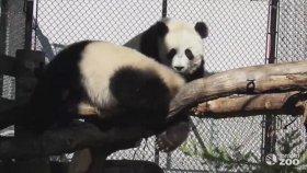 Düşmeden Duramayan Sevimli Pandalar