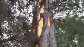 Kaliforniya'da İçi Alev Dolu Ağacın Yanması
