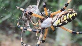 Muz Örümceğinin Kurbağayı Yuvasına Taşıyarak Paket Yapması