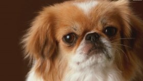 Dünya'nın En Eski 10 Köpek Irkı