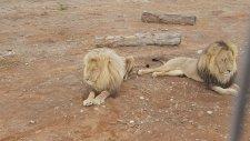 Gay Aslanların Aşk Dolu Hayatı