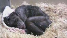 Eski Dostunu Gören Şempanzenin Yaşadığı Mutluluk