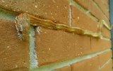 Mısır Yılanının Bina Duvarında Şekil Alması