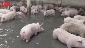 Selden Yüzerek Kurtulmaya Çalışan Domuzlar