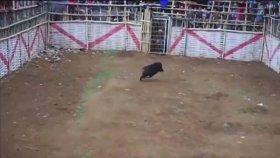 Yaban Domuzu ve Köpek Dövüşü - Endonezya