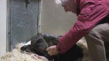 59 Yaşındaki Şempanzenin Eski Dostunu Tanıması