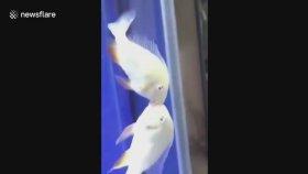 Akvaryumun İçinde Öpüşen Çifti İzleyen Balıkların Şaşırıp Kalması