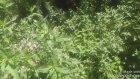 Nanenin  yabani deli nanenin  nane bitkisinin çayının faydaları yararları nelerdir