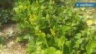 Fasulye bitkisinin tohumları faydalarının duyunca çok sariracaksiniz fasulye bitkisinin faydaları