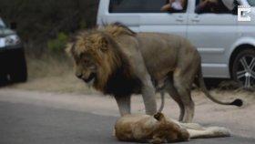 Dişi Aslanı Hoş Tutan Aslan ve Felç Olan Trafik