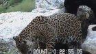 Leopar Ayağı Kayınca Yere Çakıldı