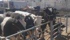 Keçi koyun kuzularin videosu sesleri melemesi inek sesleri edirne havza hayvan pazari