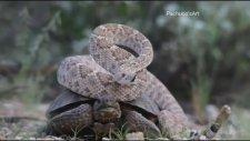 Çıngıraklı Yılanın Kaplumbağaya Otostop Çekmesi