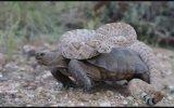 Çöl Kaplumbağasına Otostop Çeken Yılan