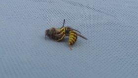 Sarı Arının Bal Arısını Ortadan İkiye Ayırması