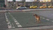 Sokak Köpeği Yeşil Işığı Beklerken Yaya Kırmızıda Geçti