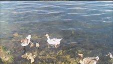 ( * ) Didim - Bafa Gölünde Sevimli Ördek Ve Kaz Yavruları ,,,