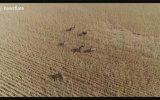 Emuların Drone Görüntüsü  Avustralya