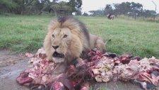 Ziyafeti Gören Aslanların Çıldırması