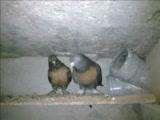 kayserili muammer (papak)-taklacı güvercinler