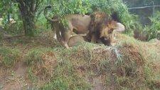 Eşcinsel  aslanlar