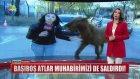 Başıboş Atların Haber Muhabirine Saldırması