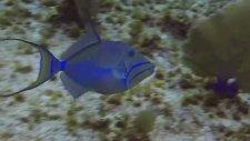 Kraliçe Tetik Balığının Eşsiz Güzelliği