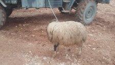 Suriye- Us Bolgesi ( Koyun Kesimi)TSK